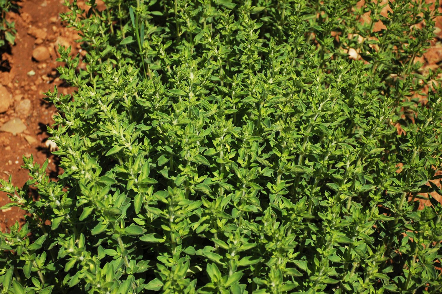 oregano_detail_web.jpg